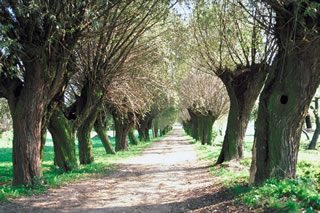Transportation Avenue of willow tree  Mozowsze Plain  Poland - Our Staff